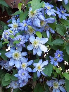 Blue Moon Clematis by Maureen Tillman Digitally enhanced and altered image of a lush, beautiful blue moon clematis climbing on a trellis on a sunny summer day. Clematis Care, Clematis Trellis, Clematis Plants, Purple Clematis, Clematis Flower, Sweet Autumn Clematis, Flower Garden Plans, Blue And Purple Flowers, Climbing Vines