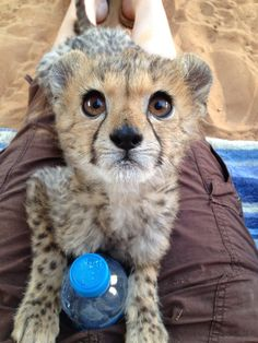 My friend raises baby big cats for a zoo overseas. This is one of her rescued cheetah cubs.