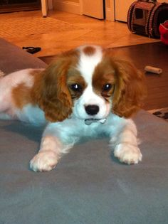 Lucy ❤️ A Cavilier King Charles spaniel.