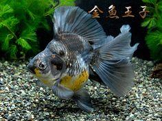 三色琉金B/T(さんしょくりゅうきんB/T)never seen goldfish coloration like this before!