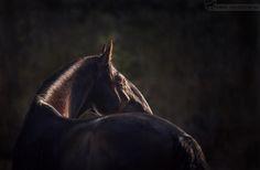 Старинная чешская порода - Кладруб. Лошади с необычным профилем =) Красивый барочный тип.