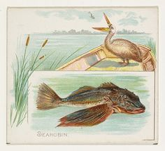 Searobin, from Fish from American Waters series (N39) for Allen & Ginter Cigarettes
