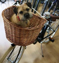 I love to ride in the Basket on Mum's Bike. She gives me treats for guarding her Bike for her'- Cute Border Terrier Dog Terrier Breeds, Terrier Dogs, Terrier Mix, White Terrier, Terriers, Border Terrier, Best Dog Breeds, Best Dogs, Dog Bike Basket