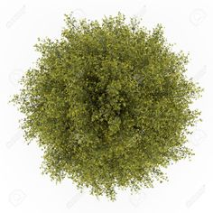 plants top view: top view of ginkgo tree isolated on white background Stock Photo Tree Plan Png, Plan Tree, Tree Psd, Trees Top View, Tree Photoshop, Cartoon Trees, Tree Images, Plant Images, Bare Tree