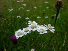 Sneezewort - Achillea ptarmica - lus y chorran