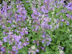 NEPETA faassenii 'Walkers Low' - Katteurt, farve: blåviolet/duftende, lysforhold: sol, højde: 60 cm, blomstring: juni - august, god til bier og andre insekter, god til bunddække, velegnet til snit.