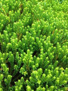 Hebe Emerald Gem - http://www.gardenanswers.com/shrubs/hebe-emerald-gem/