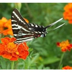 Here in Northern Florida, the Zebra Swallowtail is one of the first swallowtail butterflies seen in springtime. Green eggs laid on the Pawpaw plant turn dark orange before hatching. Young larvae are black in color, and we fondly call them 'tadpoles' here at the farm due to their color and shape. As the larvae grow, they can be primarily green or white, yellow, black, and green striped. When disturbed, larvae will emit a foul odor from their osmeterium, a scent gland located on their head…