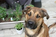 Deago is an adoptable Shepherd Dog in Arva, ON. Deago is a beautiful 15 month old Shepherd/Mastiff cross who weighs in at about 70-75 lbs. His golden brown eyes will melt your heart the first time he ...
