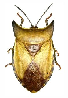 Eurypleura bicornis