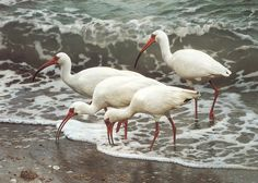 Carl Brenders - Shoreline Quartet - White Ibis - Search Gallery One for Brenders limited edition prints, giclee canvases and original paintings by internationally-known artists Wildlife Paintings, Wildlife Art, Bird Paintings, Animal Paintings, Guache, Shorebirds, Bird Drawings, Bird Art, Beautiful Birds