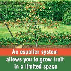 Espalier----Grow fruit in a vertical space!