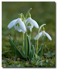 snowdrop – World of Flowers Spring Flowers, White Flowers, Beautiful Flowers, Garden Trees, Trees To Plant, My Flower, Flower Power, Fotografia Macro, Close Up Photography