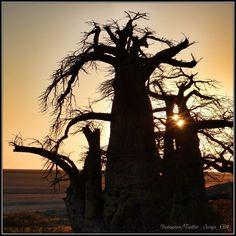 Baobab trees at sunrise at Kubu Island, Makgadigadi Salt Pans, Botswana