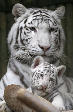 Rare white Indian tiger triplets were born at a zoo in Liberec, Czech Republic - LOVE white tigers, must visit!