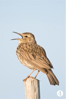 Agulhas Long-billed Lark. On the southernmost tip of Africa, the fynbos kingdom of the Agulhas Plain is home to plentiful birds.