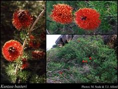 Kunzea baxteri   S 1-4m FS Jul-Mar W-SU red The best red winter flowering bottle brush, a shrub to 2m high x 2m across, prune to shape Red bottlebrush flowers in winter covering the entire bush Full sun Honey eater attracting All but not limestone