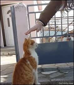 "Animated CAT GIF • Cute ginger Cat wants to be strongly petted. ""Pet me strongly human, all I need is love."""