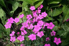 Nurmnelk, Dianthus deltoides