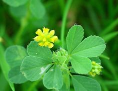 Lesser Yellow Trefoil - Trifolium dubium - Wildflowers in an English Country Garden