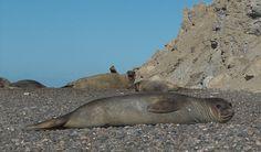 Mirounga leonina, fêmeas. Elefante-marinho-do-sul, em Punta Ninfas, sul da península de Vales, Patagônia. Fotografia: Fabienkhan. – Wikipédia, a enciclopédia livre.