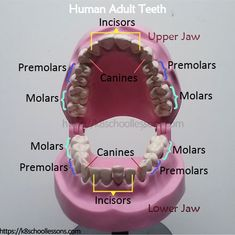 Human Tooth Structure for kids. Learn all what you should know about your teeth, such as the types of teeth, number of teeth, functions of teeth, structure of teeth and taking care of teeth. Human tooth anatomy for kids. Structure of the tooth. Dental Assistant Study, Dental Hygiene Student, Dental Hygienist, Dental Humor, Dental Quotes, Dental Facts, Medical Students, Nursing Students, Dental World
