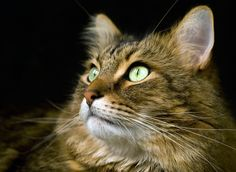 maine coons and other cats - Google Search