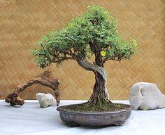 Potentilla fruticosa, Bonsai