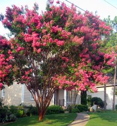 Southern Crepe Myrtle....want one of these in my yard! needs to be the dynamite variety...super deep red...sooo hard to find
