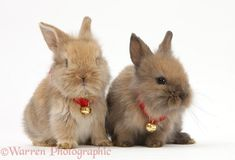 Photograph of Two baby Lionhead-cross rabbits wearing bells. Rights managed white background image.
