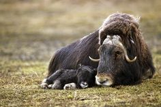 Musk oxen live in herds numbering in the winter and in the summer. Musk oxen from Arctic areas in Canada, the United States, and Greenland Cute Baby Animals, Animals And Pets, Funny Animals, Animal Babies, Wild Animals, Beautiful Creatures, Animals Beautiful, Beautiful Babies, Musk Ox