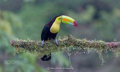 Keel Billed Toucan by Menno Dekker on 500px