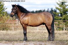 Estonian Native / Klepper - gelding Elger