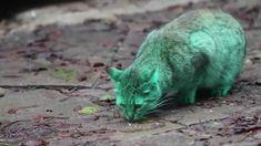 Film Green Cat
