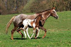 Appaloosa Horses, Dna Test, Animals, Club, Instagram, Happy, Animales, Animaux, Animal