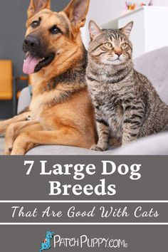"""We've all heard """"fighting like cats and dogs"""", but do all dogs truly fight with cats? Here are 7 large dog breeds that are good with cats."""