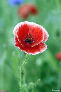 ~~Poppy by Dalang55555~~