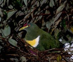 """A nesting White-bibbed Fruit-Dove in the Wandammen Mts. of New Guinea (right, a fine shot by Will Betz). White-bibbed Fruit-Dove has five subspecies, some with all-white """"bibs"""" and other, like this one of race bellus, with a bright yellow crescent within the """"bib."""""""