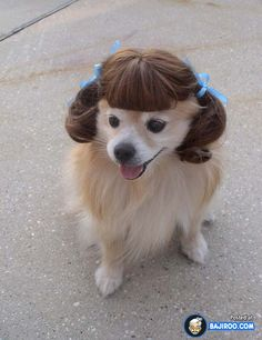 funny dog wearing a wig