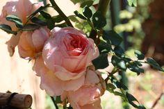 "English Rose ""Abraham Darby"""