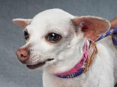 Adopt Pinkie, a lovely 4 years Dog available for adoption at Petango.com. Pinkie…