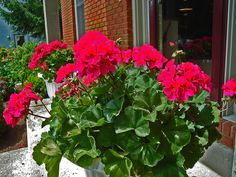 geraniums | Fantasia 'Violet' geraniums do well at Lynn Parsons' home in Ohio on ...