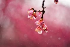 Wallpaper sakura, cherry, flowers, pink, branch