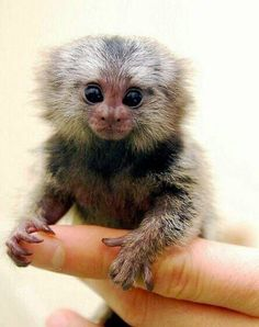 cute#animals#monkey#fingermonkey