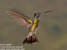 Awesome hummingbirds - www.trans-americas.com