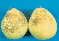 scald: a necrotic condition in which tissue is usually bleached and has the appearance of having been exposed to high temperatures (storage scald on d'Anjou pears)