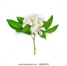 White flower, Orange Jessamine (Murraya paniculata) or China Box Tree, Andaman Satinwood