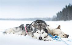 Download imagens husky, cachorros, inverno, neve, animais de estimação, Husky siberiano