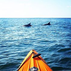 Kayaking with dolphins anyone? in gets up close and personal with some marine life. Adventure Holiday, Gladstone, Sunshine State, Camping And Hiking, Great Barrier Reef, Marine Life, Dolphins, Surfboard, Kayaking