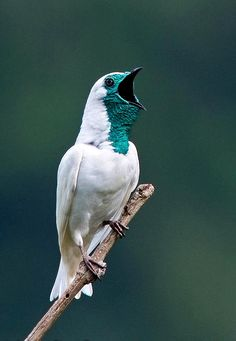 The bare-throated bellbird (Procnias nudicollis), a species of bird in the Cotingidae family. It is found in Argentina, Brazil, and Paraguay.  It has one of the loudest calls of any bird - a sharp sound like that of a hammer striking an anvil or a bell, emitted by the male while it perches on a high branch in order to attract a mate. The sound is so loud, that it can be heard up to a mile away and can apparently cause damage to human hearing if heard from close range.